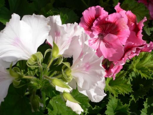 Когда цветет герань в домашних условиях