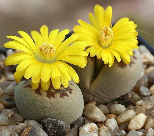 Цветок живой камень