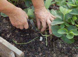 как сажать клубнику весной пошаговая инструкция