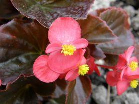Бегония Семперфлоренс, Begonia semperflorens