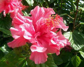 Гибискус. Китайская роза. Проблемы ...